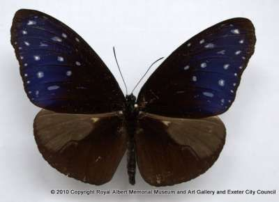 Striped blue crow butterfly