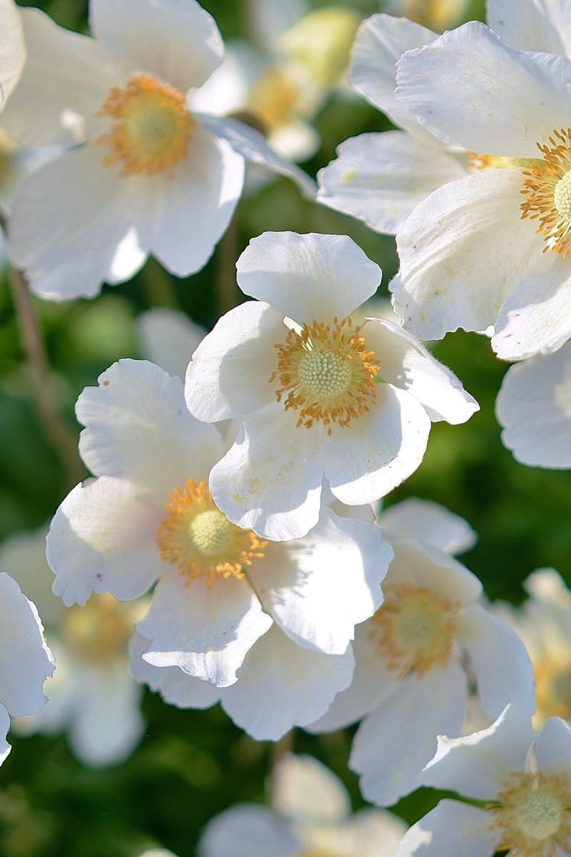 White 5 Petaled Flower Branding Pinterest Garden Trees