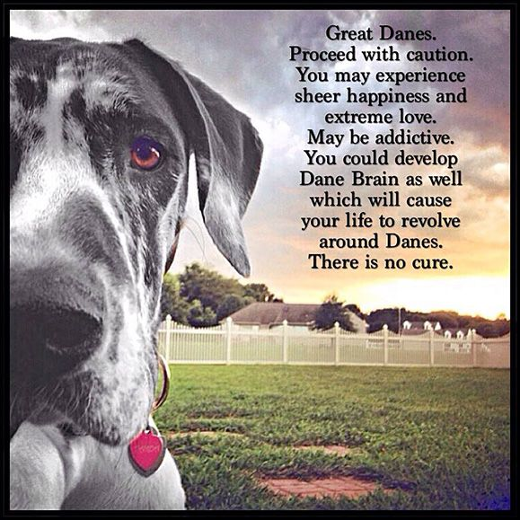 Great Danes Proceed With Caution You May Experience Sheer