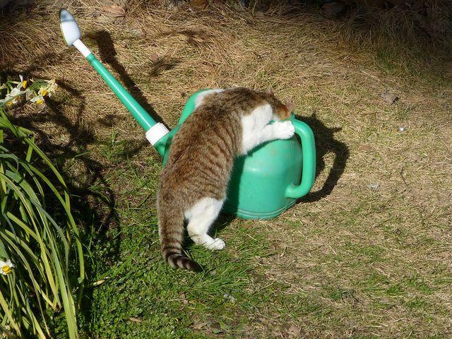 じょうろの水を飲むネコ cat