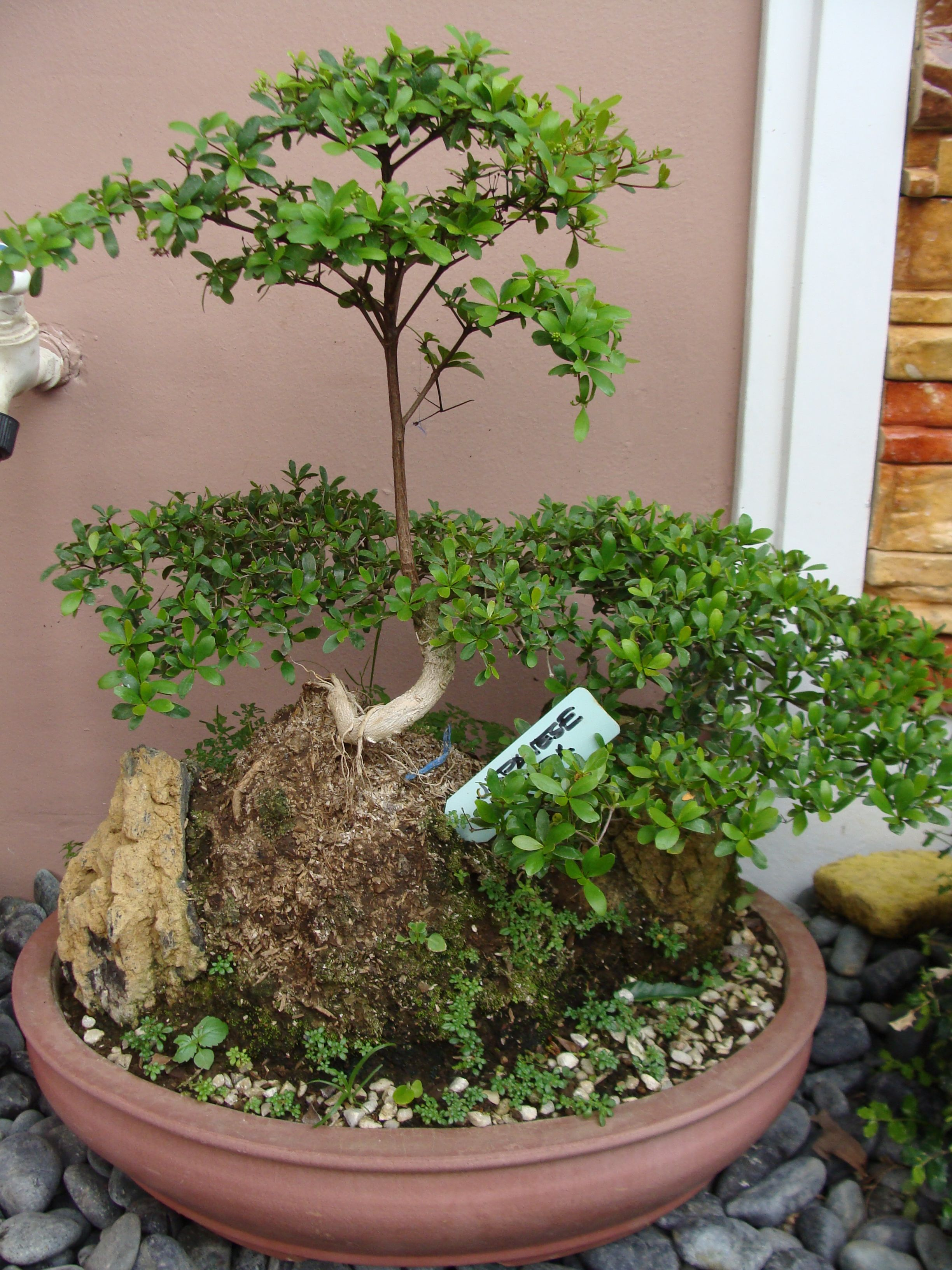 another collection of mine a Japanese Bushida bonsai