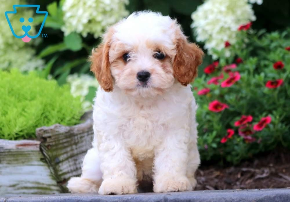 Sparky Cavapoo Puppy For Sale Keystone Puppies Newborn Puppies Cavapoo Puppies Cute Baby Puppies