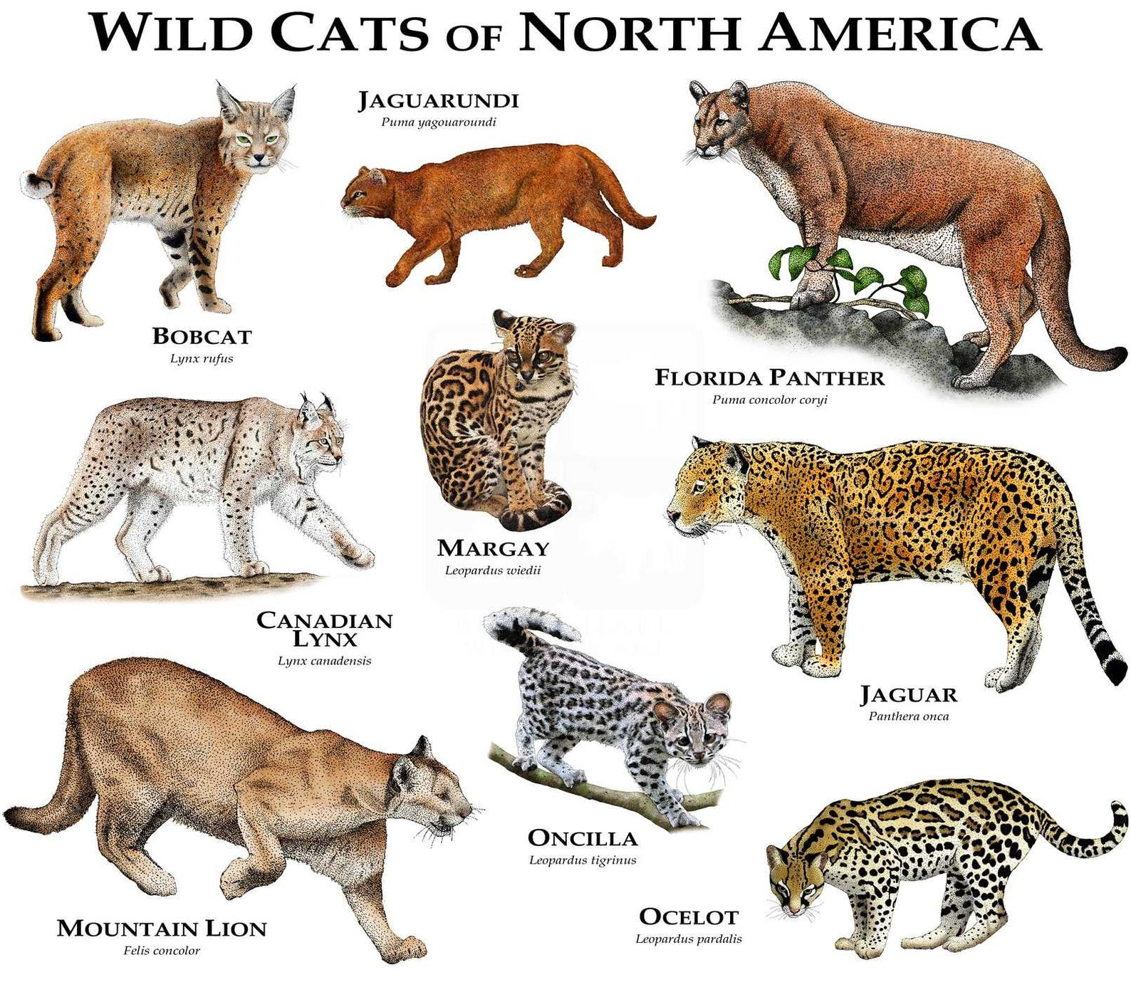 Wild Cats Of North America Poster Print Small Wild Cats Wild Cats Animals
