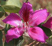 Bauhinia Wikipedia The Free Encyclopedia Pink Flowering Trees Edible Flowers Flowers