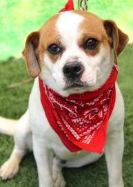 Bruno Is A 2 Year Old Pug Beagle Mix Available For Adoption He S