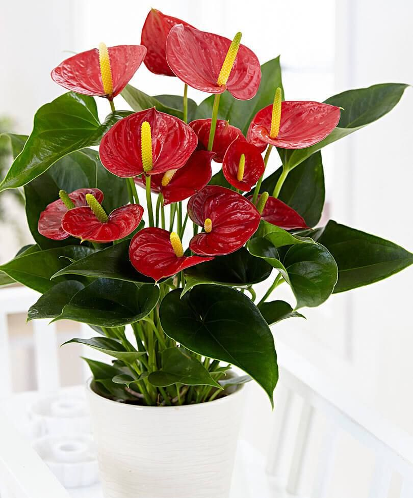 10 Flowering Houseplants For Sunny Spots That Thrive In A Sunny Window Flowering House Plants Anthurium Plant Plants