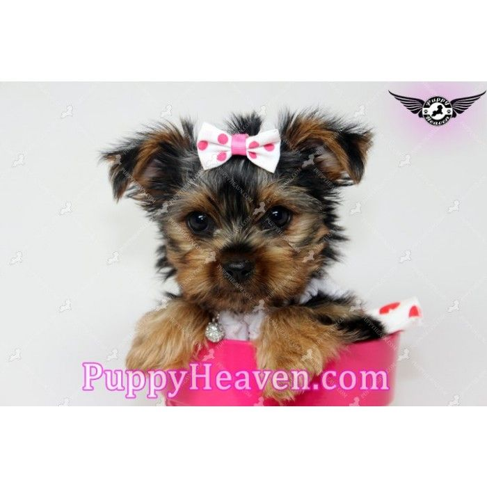 Rachel Is A Gorgeous Teacup Yorkie Puppy Ready To Make Your Life Happier And Full Of Joy She Loves To Play With Toy Yorkie Puppy Teacup Yorkie Puppy Puppies