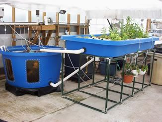 Home aquaponics systems for sale check out my personal for Aquaponics fish for sale