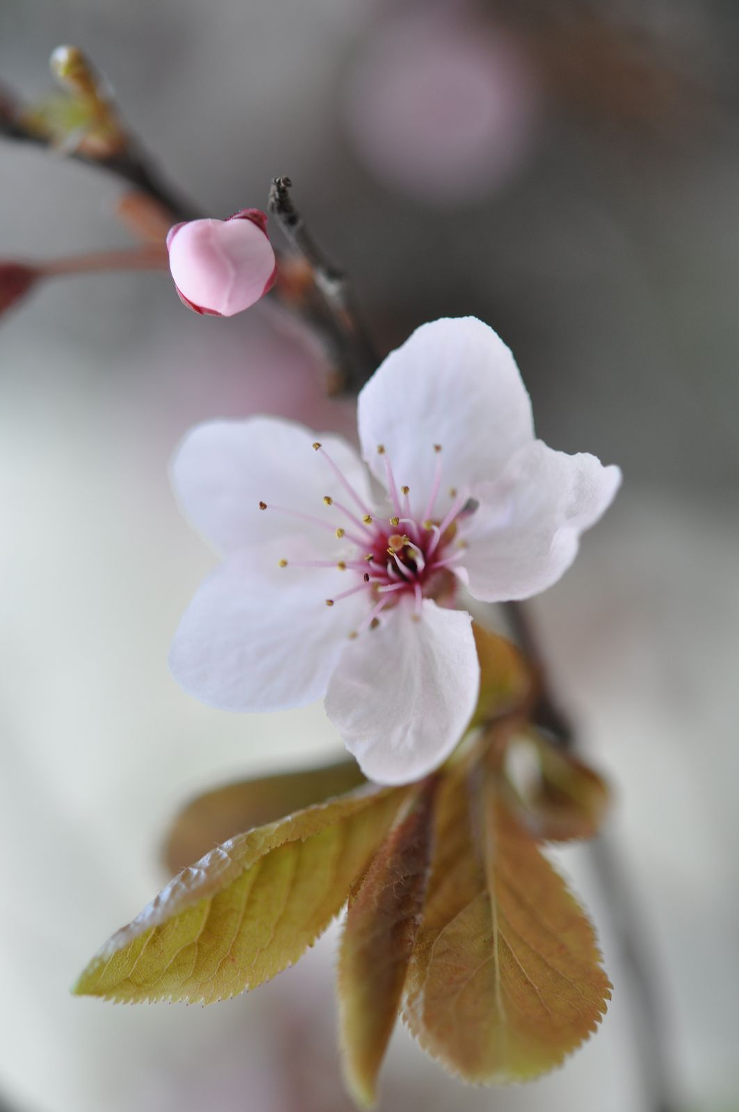 20120326 123 Cherry Blossom Flowers Blossom Flower Botanical Flowers