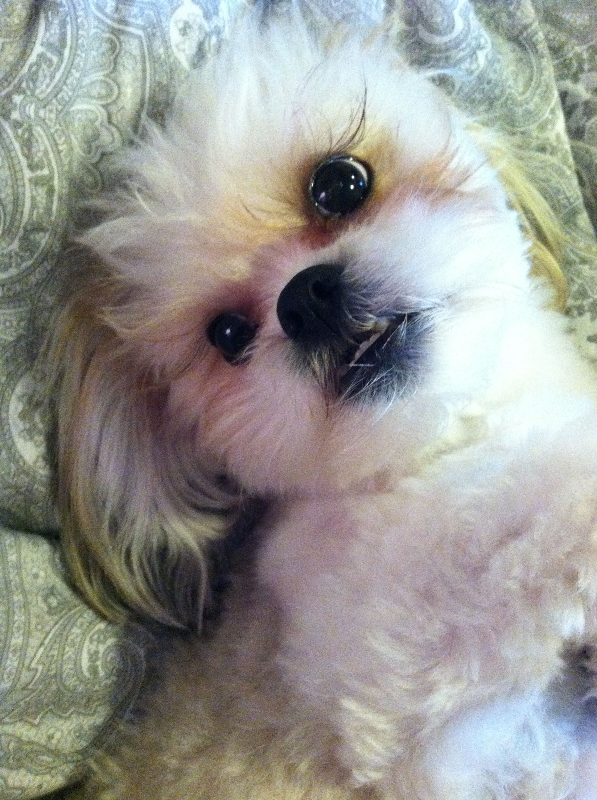 Shichon puppies for sale in kentucky - Ollie The Shih Tzu And Bichon Frise Mix Also Known As A Shichon Early
