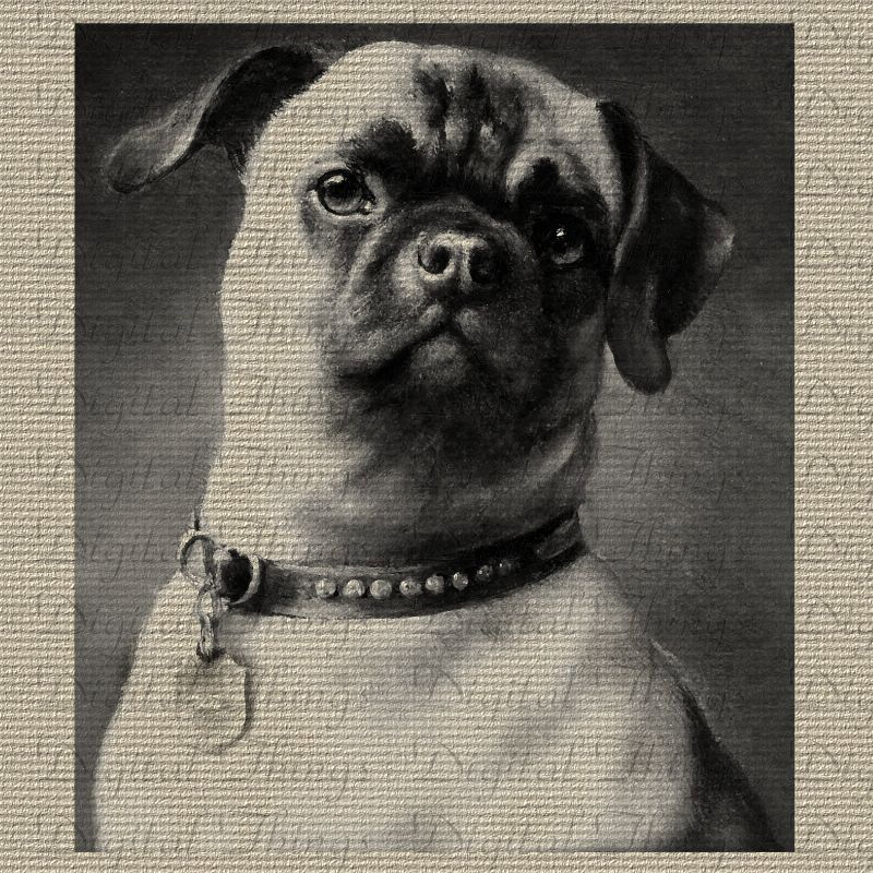 A Vintage Pug This Is The Way The Breed Probably Should Have Been