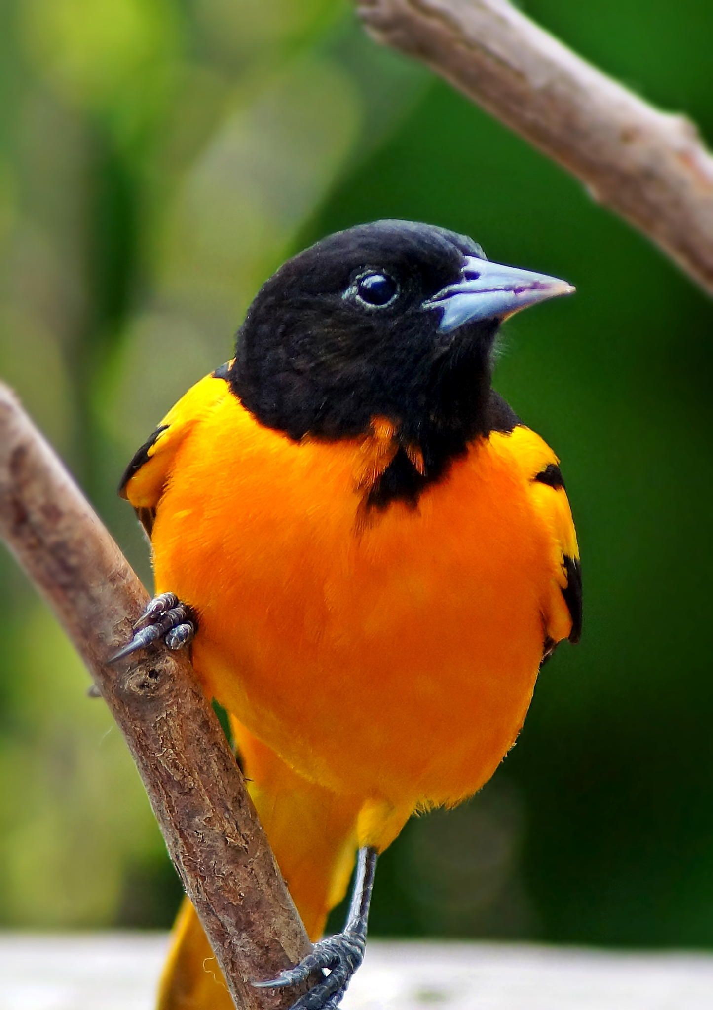 Baltimore Oriole Beautiful Birds Most Beautiful Birds Backyard Birds