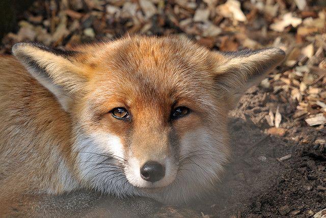 Red Fox by Joachim S. Müller