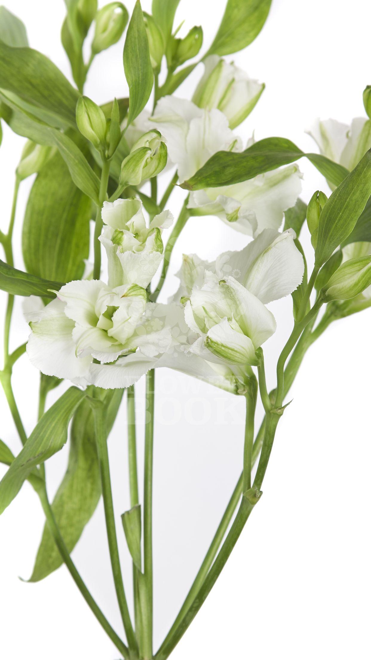 Alstroemeria Charmelia White At Flowerbook App