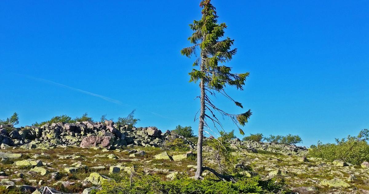 Der Alteste Baum Der Welt Alter Baum Mammutbaum Baum