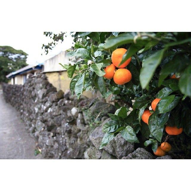 dreamykenneth / #Jeju_Korea #Jejudo #Korea #SouthKorea #RepublicofKorea #landscape #tangerine #mandarin #stonewall #Jeju #한국 #제주도 #제주 #돌담 #귤 #귤나무 #뀰 #풍경 태어나서 처음 나무에 달린 주황색 뀰에 환호했던 날..#내륙촌놈 / #골목 #담벼락 #식물 / 2013 11 30 /
