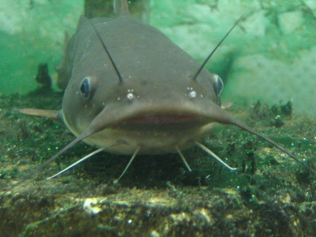 Catfish If Only I Had A Pond Lake At Dream House Catfish Catfish Fishing Fish