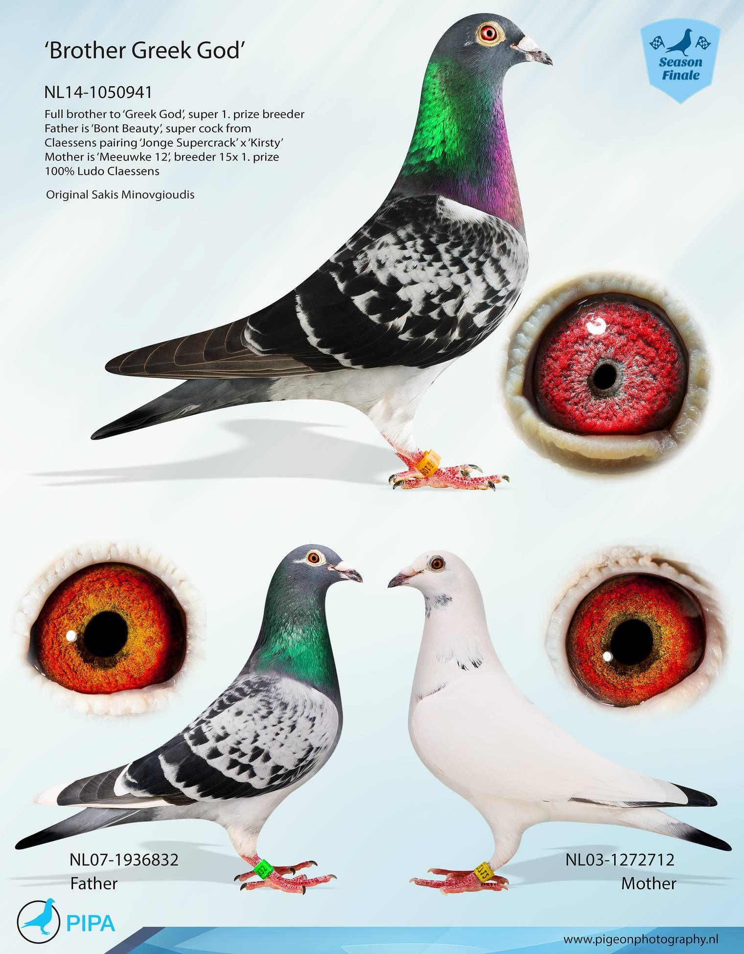 NL14-1050941   Brother Greek God   pigeons   Racing pigeon
