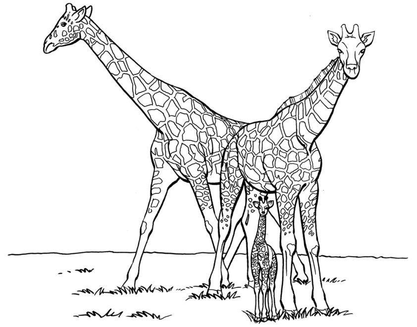 Giraffen Bilder Zum Ausdrucken 1041 Malvorlage Giraffe Ausmalbilder