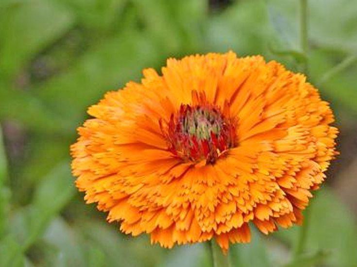 Growing Pot Marigolds (Calendula) - A Beautiful Edible Flower