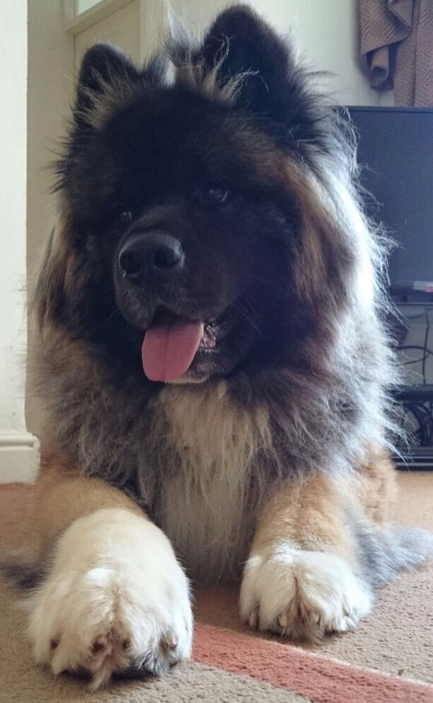 Japanese Akita Long Coat Male Bear Dog Cute Dog Japanese Dogs