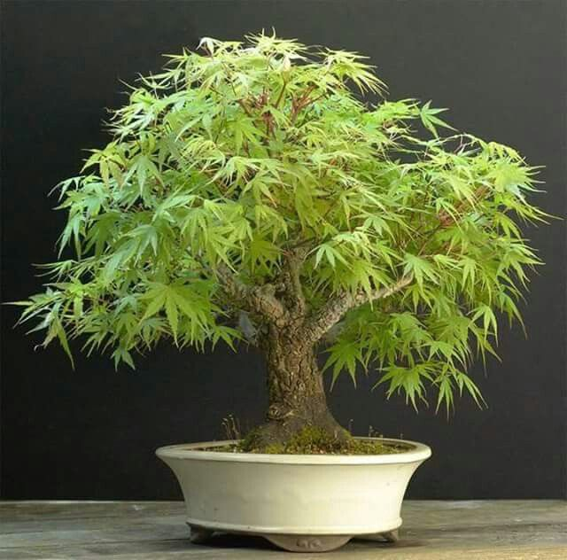 Bonsai Maple Bonsai Bonsai Artificial Plants