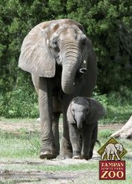 #tampa lowry park zoo. see ya saturday, harry elefante!