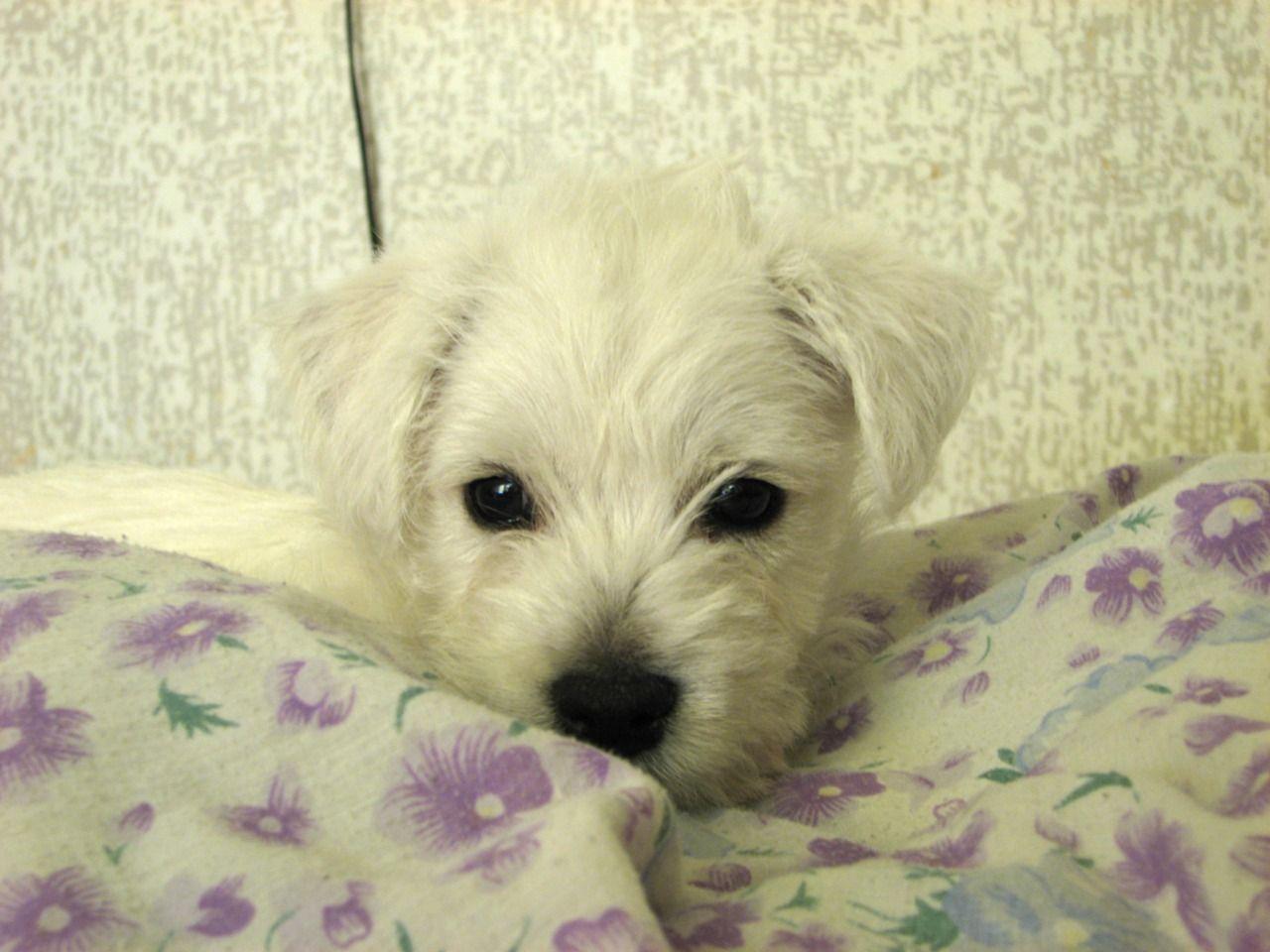 Pittipatti Westies Westie Puppies Westies Puppies