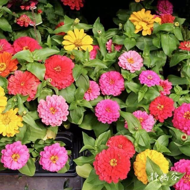 1000Pcs Plant Flower Seeds for Beautiful Garden Decoration – 3seeds  1000pcs