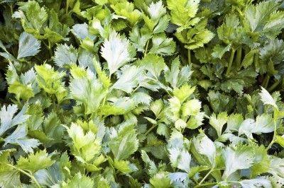Celery Leaf Info Learn About Growing Celery As Herb 400 x 300