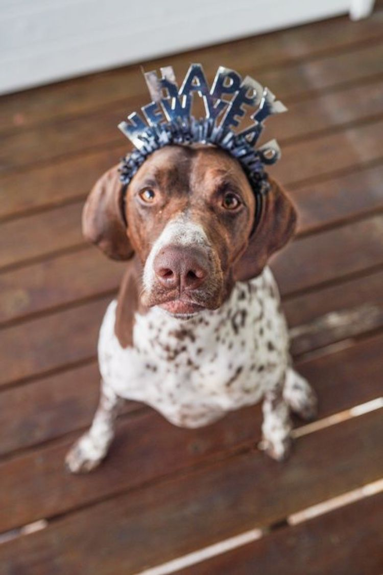 Ready to have another full year of being cute and driving mom crazy #gsp #gspoftheday #gspofinstagram #pointer #pointerpuppy #gsppuppy #puppiesforall #dogsandpals #dogsofplay #backcountrypaws #dogsonadventures #gundoghunting #birddog #cutedogday #newyears #newyearseve #happynewyear2020 #resolutions