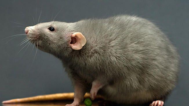 Rat Takes Down Pigeon On New York City Sidewalk Nbc New York Rats Pet Rats Petco