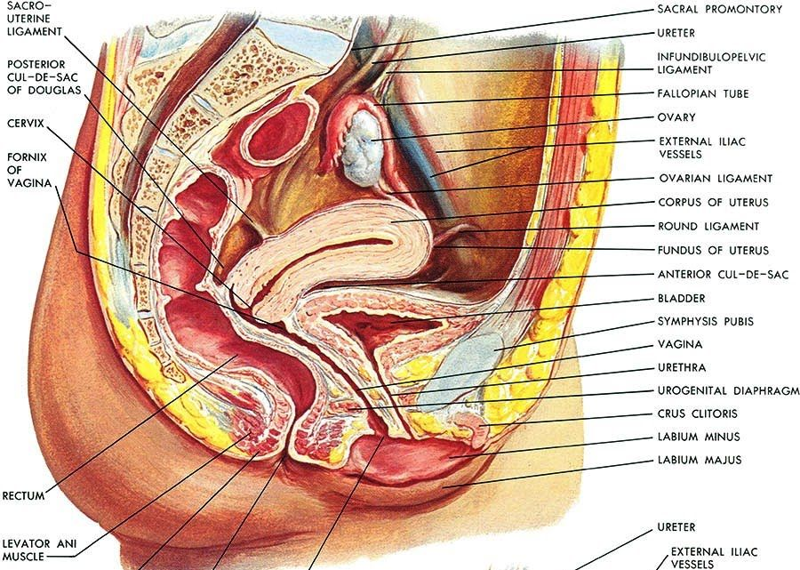 Pregnancy uterine anatomy netter ligament - Google Search | Anatomy ...