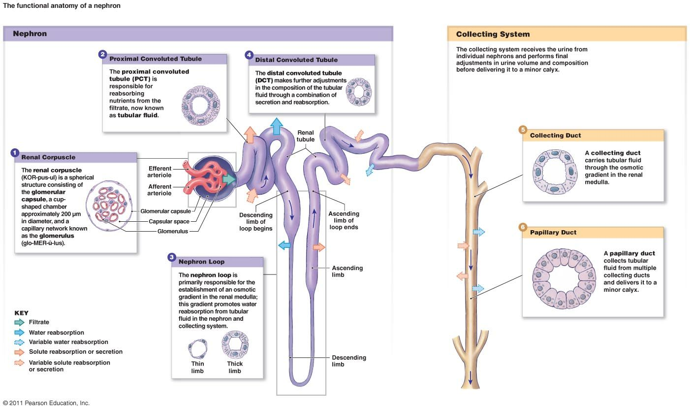 Kidney Cell Diagram Labeled Chevy Equinox Motor Nephron Function Functional Anatomy Of The