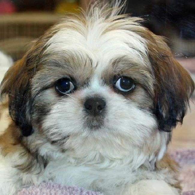 Shih Tzu Puppies For Sale In Ri Cute Puppies Shih Tzu Shih Tzu Puppy Miniature Shih Tzu