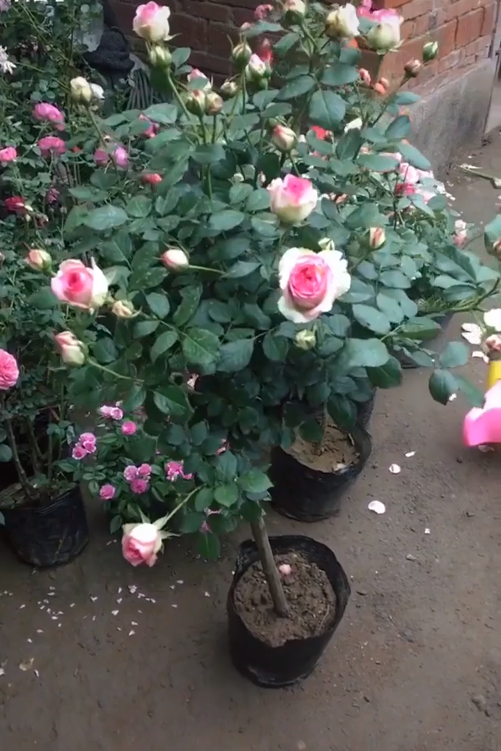 Learn About The Dream Rose Pots