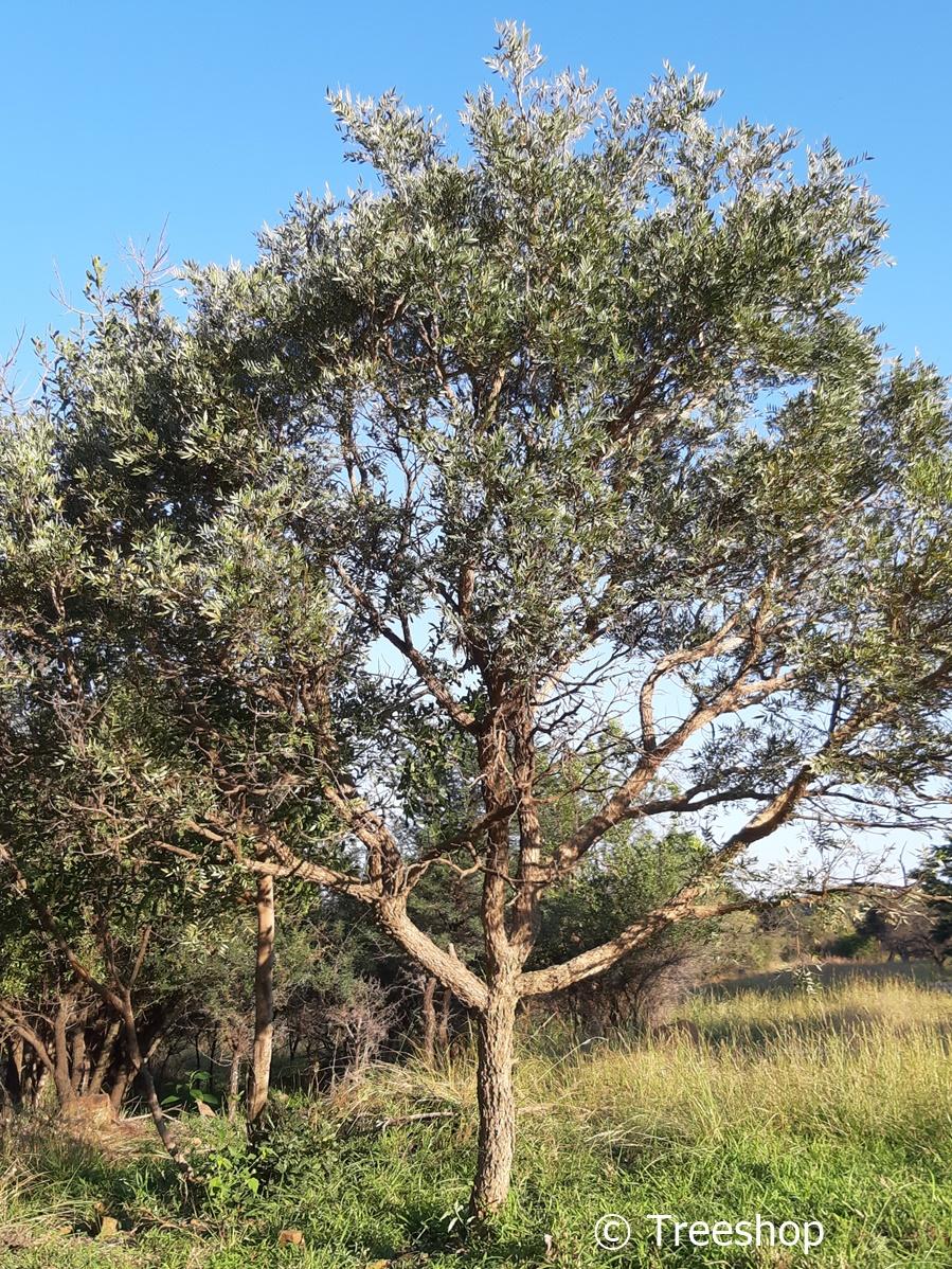 800dbf71a174e76f8500d9372e2cf597 - Trees For Small Gardens South Africa