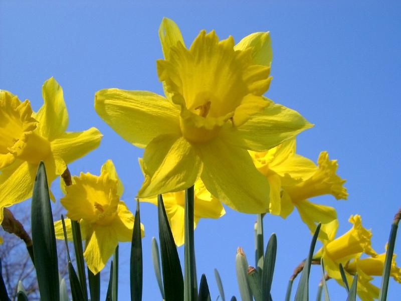Pictures of daffodils spring flowers want to be able to indentify pictures of daffodils spring flowers want to be able to indentify plants with your mobile mightylinksfo