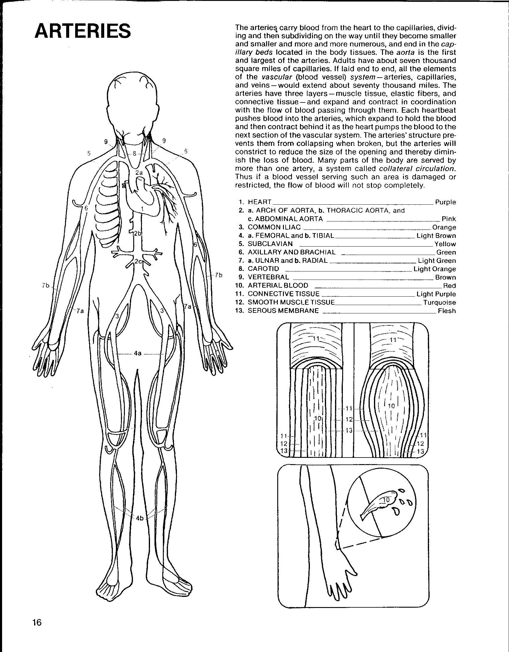Circulatory System For Kids Worksheets Worksheets About