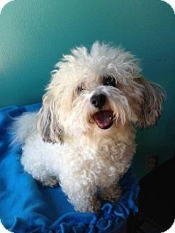 Edina Mn Bichon Frise Poodle Miniature Mix Meet Carmel D130614 A Dog For Adoption Http Www Adoptapet Com Pet 109940 Kitten Adoption Poochon Dog Pets