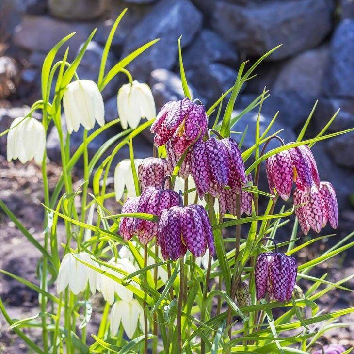 Ein Aussergewohnliches Blutenmuster Zeigen Schachtbrettblumen Gefunden Auf Www Tom Garten De Pflanzen Edeldistel Blumenzwiebeln