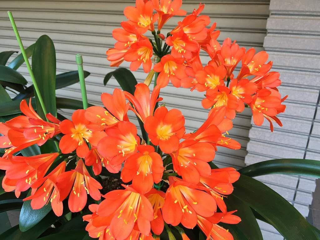 今年もオレンジ色鮮やかに咲き誇る「クンシラン」  目黒区柿の木坂 2016/04/20