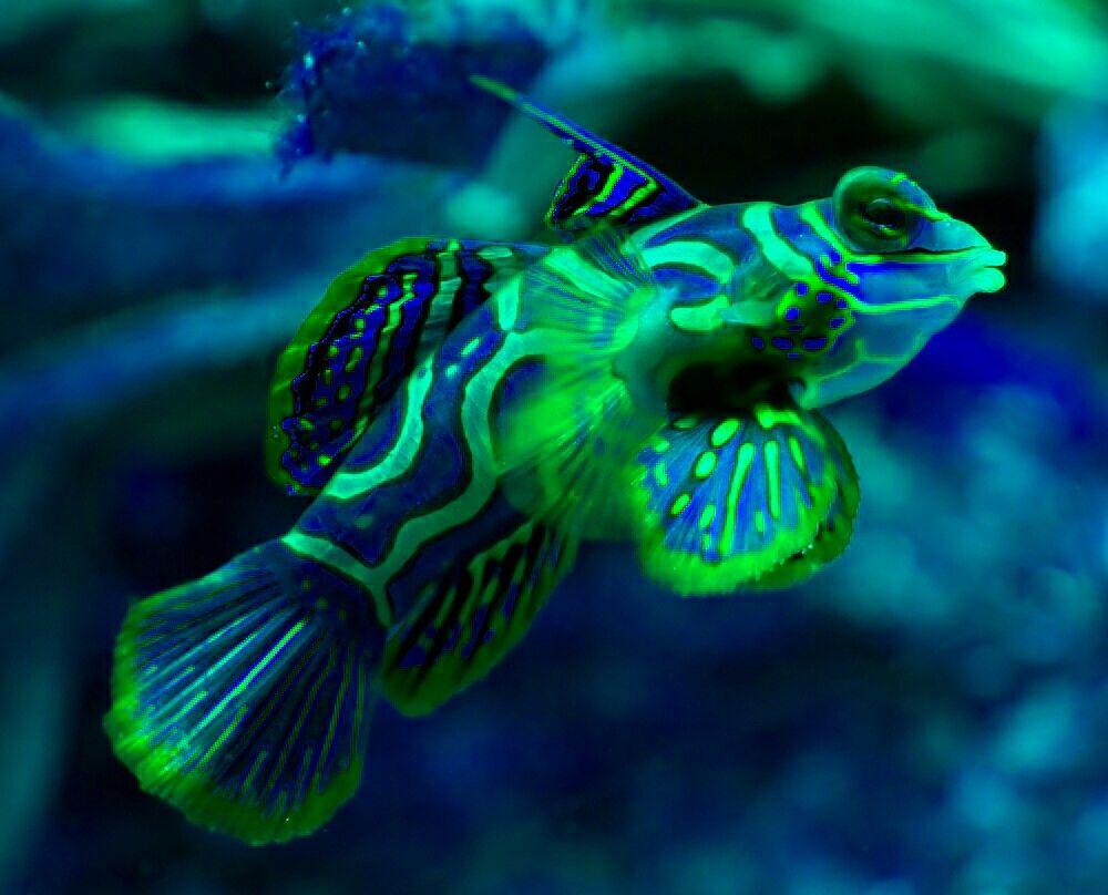 Sapphire Blue Mandarinfish | Deep sea life, Ocean ...