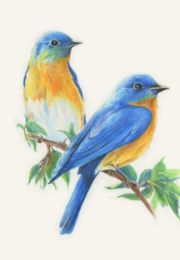 Colored Pencil Birds Bird Drawings Watercolor Bird Color