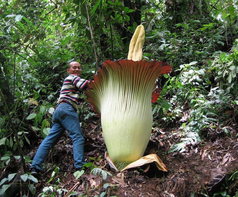 10pcs Biggest Flower Amorphophallus Titanum Seeds Flower Seeds Corpse Flower In 2020 Amorphophallus Titanum Corpse Flower Flower Seeds