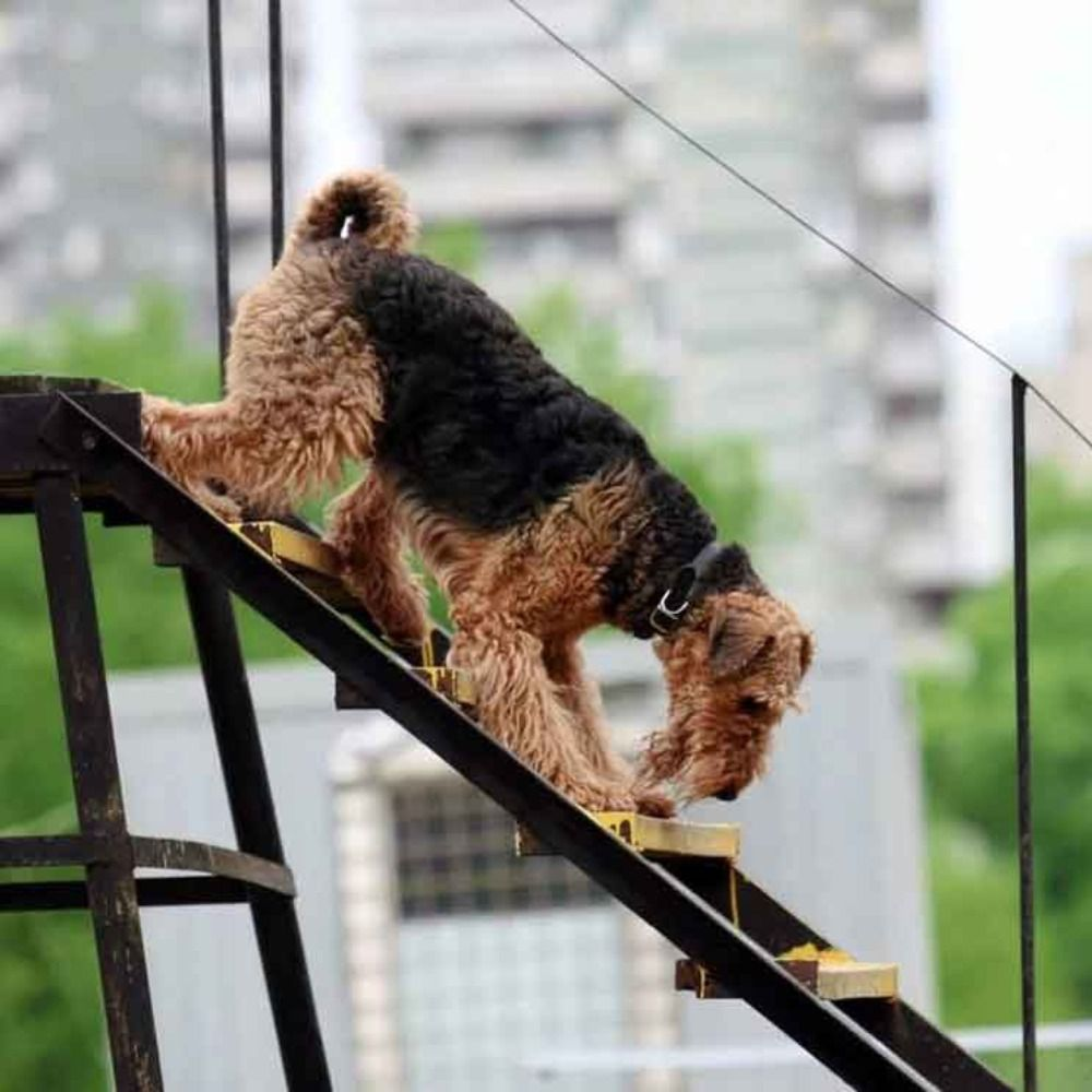 Airedale Terrier Information Dog Breed Facts In 2020 Airedale Terrier Dog Breeds Terrier