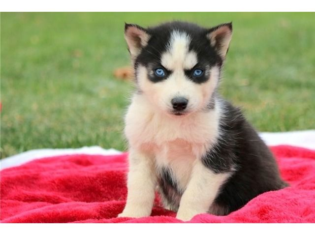 Pin By Lyrkanea On Husky Husky Puppy Siberian Husky Puppies