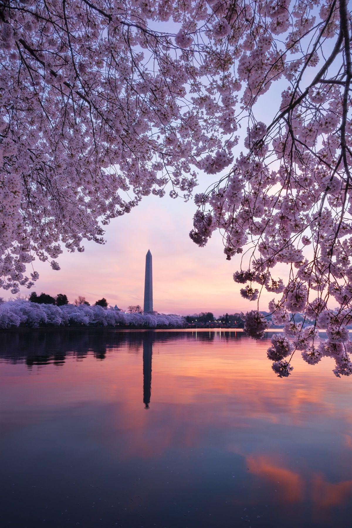 How To Experience Cherry Blossom Season In Washington Dc Cherry Blossom Art Washington Dc Tourism Washington Dc Travel