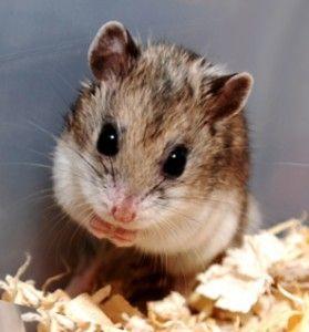 Cute Chinese Hamsters Top 5 Chinese Hamster Hamster Cute Hamsters