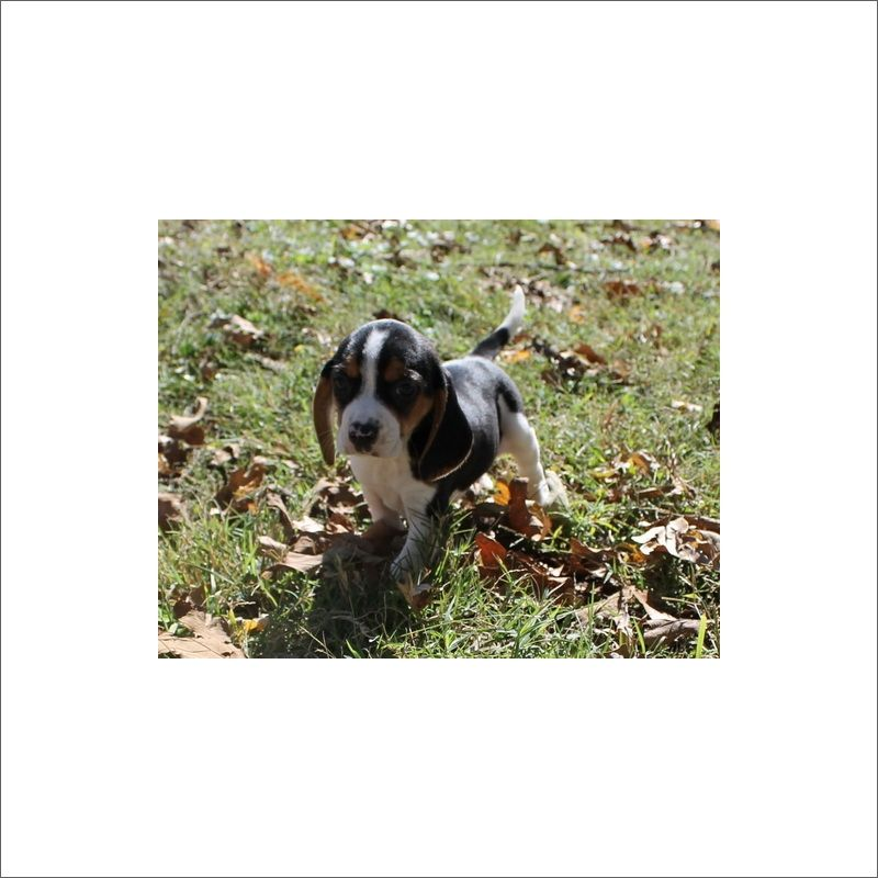 Beagle Puppy For Sale In Tucson Az Adn 51022 On Puppyfinder Com